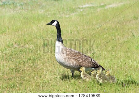 Mother Canada Goose with goslings huddled close by in a grassy field keeping an eye out for danger.
