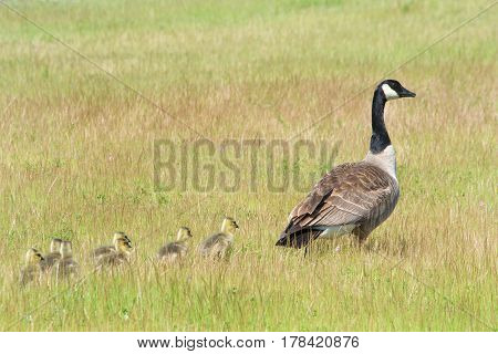 Mother Canada Goose leading goslings through a grassy field away from danger.