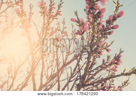 Flowering tree branches in sunlight, spring background