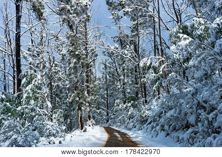 Winter Landscape Of Dirt Road And High Trees Covered With Snow
