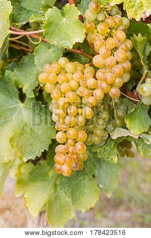 closeup of ripe bunch of grapes growing in vineyard