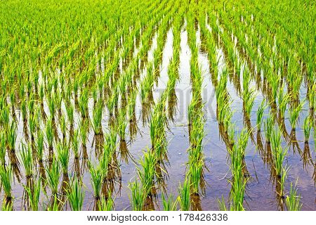 Rice field  in the countryside from Java Indonesia Asia
