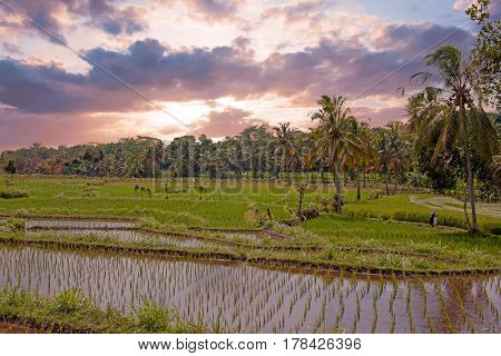 Rice field agricultural landscape in the countryside from Java Indonesia Asia at sunset