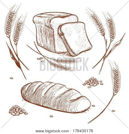 Bunch of wheat ears and bread hand drawn vector illustration in vintage engraving style, bakery sketch icons. Wheat and loaf, harvest of wheat natural