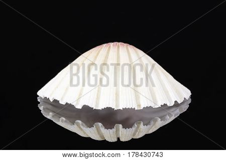 Single sea shell of mollusk isolated on black background reflection