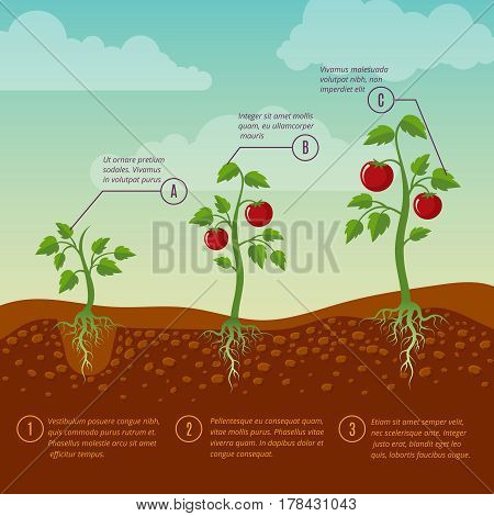 Tomatoes growth and planting stages flat vector diagram. Vegetable growing garden, illustration agriculture cultivation vegetable