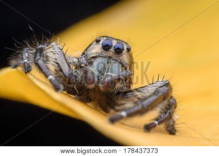 Super macro male Hyllus diardi or Jumping spider