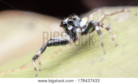 Super macro Jumping spider or Phintella versicolor (male)