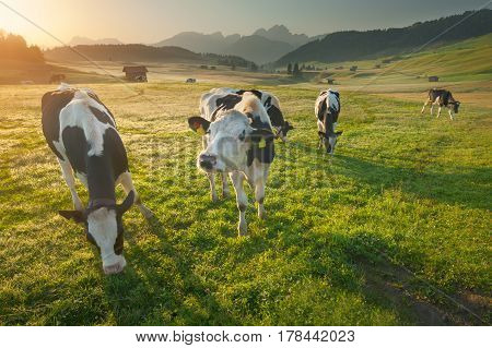 Idyllic summer landscape in the South Tyrol with cows grazing on fresh green mountain pastures. Alpe di Siusi or Seiser Alm Dolomites - Italy.