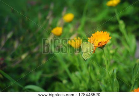 Green Butterfly On The Orange Calendula Flower