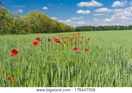 Ukrainian country landscape with wheat field and wild plantation of red poppies inside