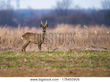 Roebuck On A Meadow
