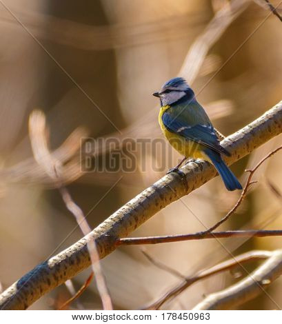 Blue Tit Perched On A Twig