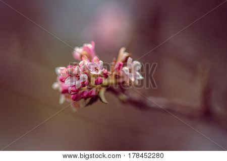 Bunch of apple blossoms against a doff background
