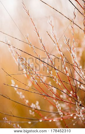 beautiful tree branches with buds dew in blur