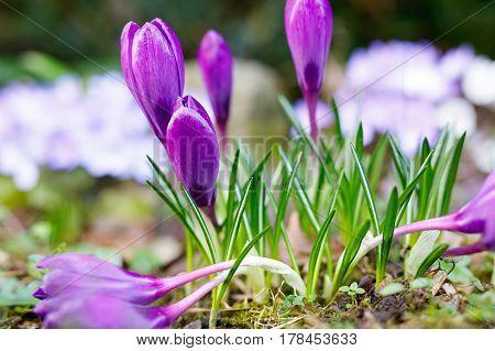 View of beautiful blooming spring flowers crocus growing in wildlife. Purple crocus growing from earth outside.