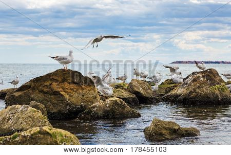 Seagulls on the stones on the shores of Black Sea. Gulls on the rocks. Birds of the sea.