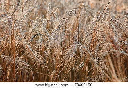 wheat ripe ears in the morning dew closeup in summer