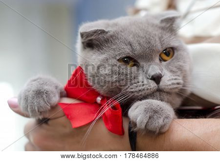 Large grey Shorthair cat with yellow eyes and small ears with a festive red bow on the neck in the hands of the mistress