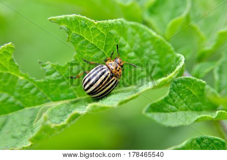 Colorado Beetle Eats A Potato Leaves Young. Pests Destroy A Crop In The Field. Parasites In Wildlife