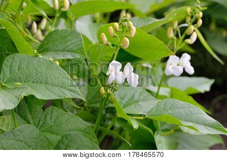 Young Shoots And Bean Flowers In The Field.