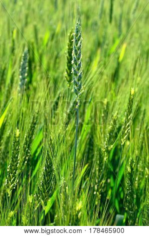 The Green Ears Of Cereal Crops In The Field .