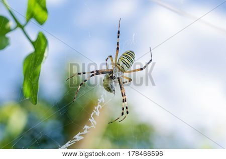 Spider with yellow and black stripes. Argiope on the web.