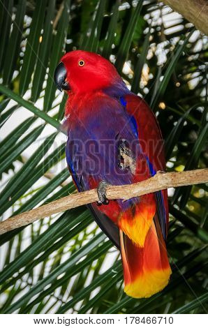 An Electus Parrot perched in a tree
