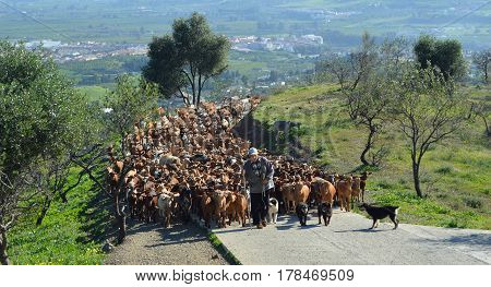 ESTACION DE CARTAMA, MALAGA, SPAIN- DECEMBER 31, 2012: A herd of several hundred goats being led to feed on fresh pasture higher in the hills by goatherd and working dogs,