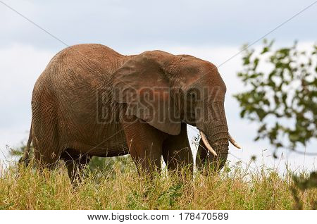 Free grazing elephant in the African savanna