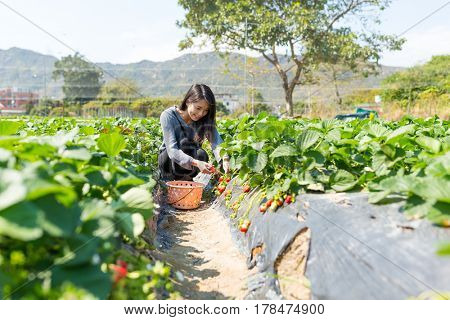 Asian Woman pick up strawberry in field