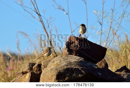 Small birds on the stones of the prairie, anthus campestris