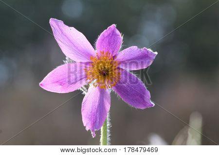 Purple pasque flowers in springtime / Hairy fuzzy pasque-flowers in soft purple pastel colors in springtime.