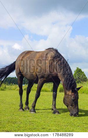 Dark brown horse standing in summer field. Scene of wildlife on pasture under cloudy blue sky. Wild horse walking on meadow