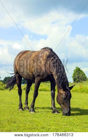 Dark brown horse standing in summer field. Scene of wildlife on pasture under cloudy blue sky. Wild horse grazes in field