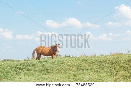 Wild horse brown color on grass. Domestic animal horse on pasture. Summer rural landscape with grazing horse in meadow against cloudy blue sky, pastel colors