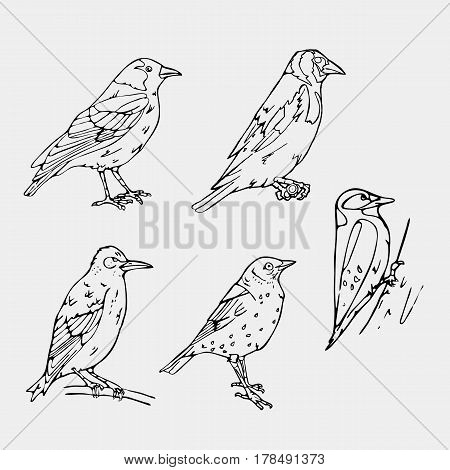 Birds engraved style. Set emblem. Bird, oriole, chickadee, sparrow, blackbird, nightingale, finch, bunting, hangbird, goldfinch, canary, bullfinch, siskin, crow,rook. Engraving, stencil style. Logo, sign,  symbol. Stamp, seal. Simple sketch.