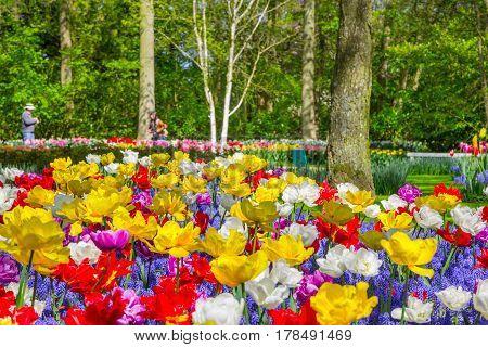 Keukenhof park Netherlands. Flower bed of colourful tulips in spring. Colorful tulips in the Keukenhof garden Holland Netherlands. Fresh blooming tulips in the spring garden. Tulip Flower Field.
