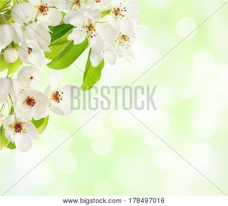 Apple blossom on defocused light green background..