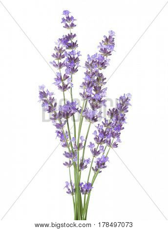 Bundle of lavender isolated on white background.
