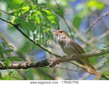 bird the Nightingale sings in the spring of leaping sitting in the bushes