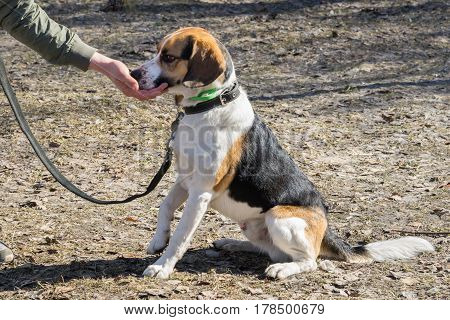 Beagle Dog Gets A Treat From The Owner's Hand For The Command Sit.
