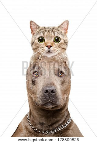 Funny portrait of a pit bull with a cat Scottish Straight on the head isolated on white background