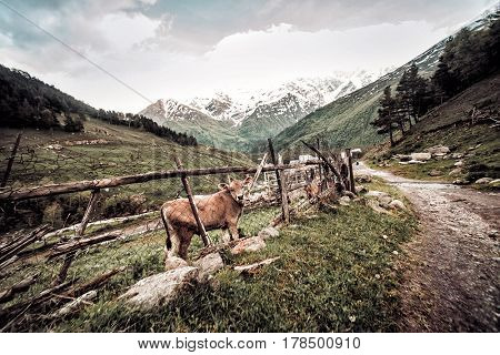Road To The Mountains In Kabardino-balkaria With The Cow Behind The Fence