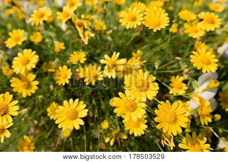 yellow daisy flowers meadow field in garden bright day light. beautiful natural blooming daisies in spring summer.