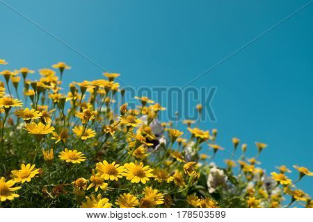 Yellow Daisy Flowers Meadow Field With Clear Blue Sky, Bright Day Light. Beautiful Natural Blooming