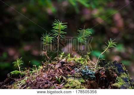Young shoots of spruce growing on the stump