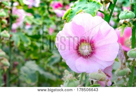Glade with flowers of pink poppy on a green blur background. Single wild poppy flower.