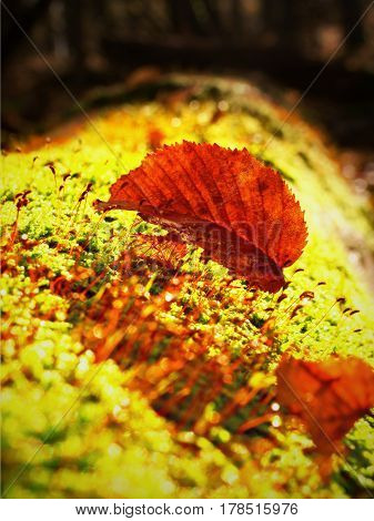 Single Brown Leaf Foreground, Beech Leaves In Autumn Forest.