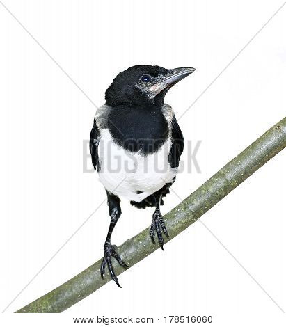 Young magpie chick sitting on the branch